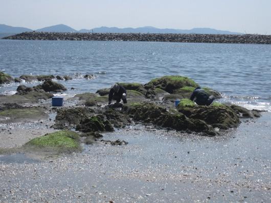 岩海苔.jpg
