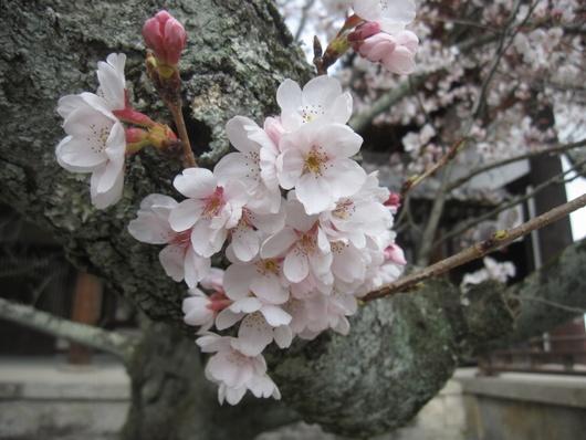 桜開花.jpg