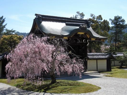 勅使門の桜.jpg