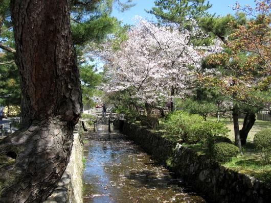 堀の花筏.jpg
