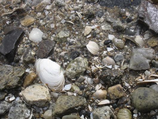 水辺貝殻.jpg